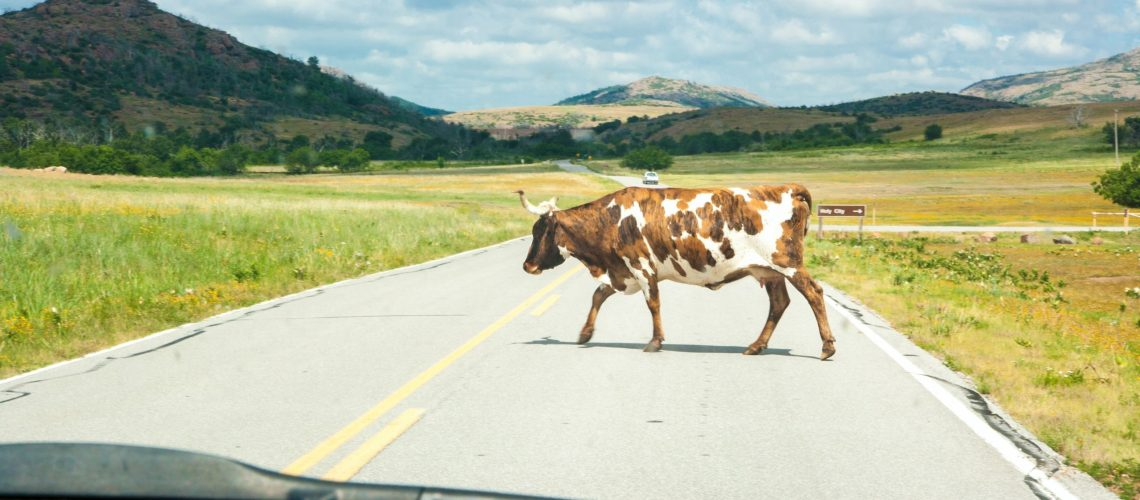 Cattle Ranch country means being careful on the road.